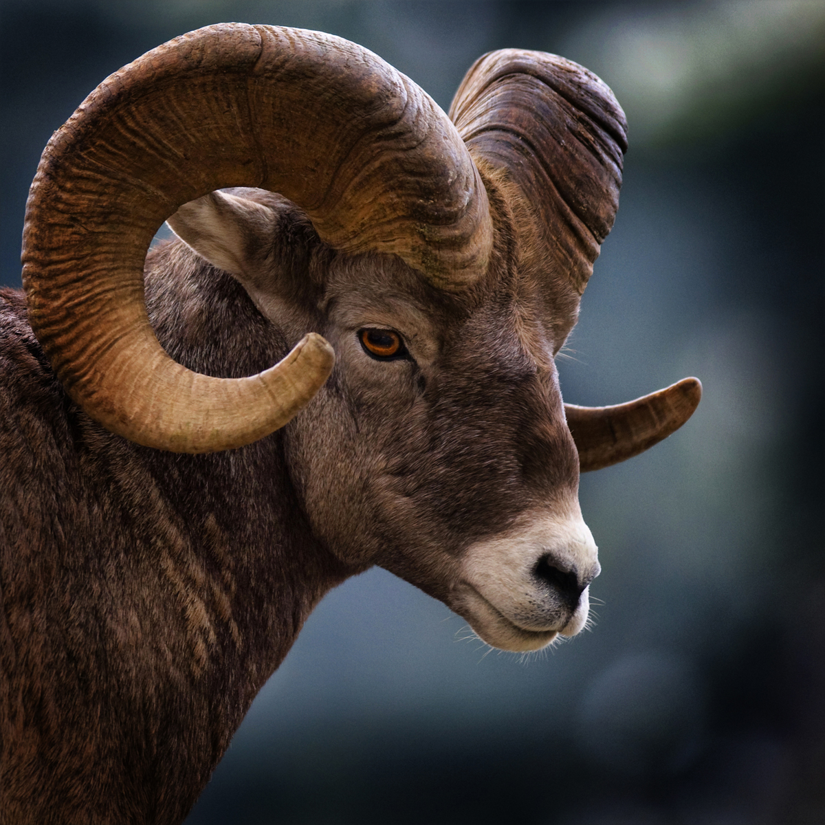 Ram Big Horn >> Ram, the Sure-footed