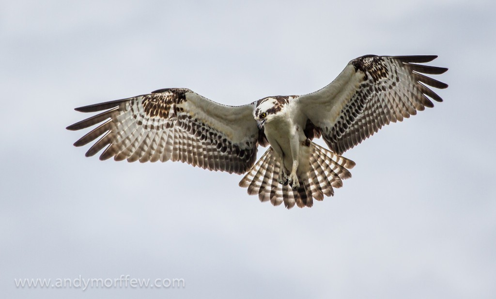 Osprey – Tenacity and Perseverance