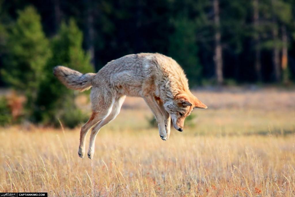Coyote – the Divine Fool
